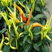 ornamental-pepper-chilly-chilli