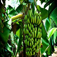 banana-wine-made-in-kenya