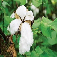bt-cotton-seed